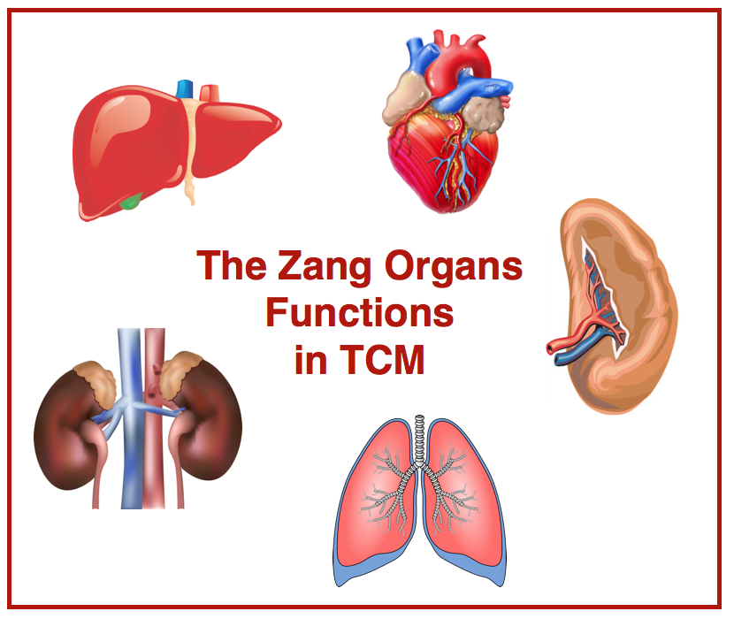The-Zang-organs-functions-in-TCM